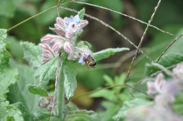 Borrage_Bee